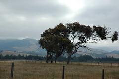 World Tree, coast blown, highway 1, San Simeon, California, USA