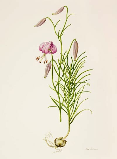 "Rose Pellicano, Lilium cernuum, 2008  Watercolor on Lanaquarelle 140 lb. hot press, 20"" × 16"". © Copyright Brooklyn Botanic Garden"