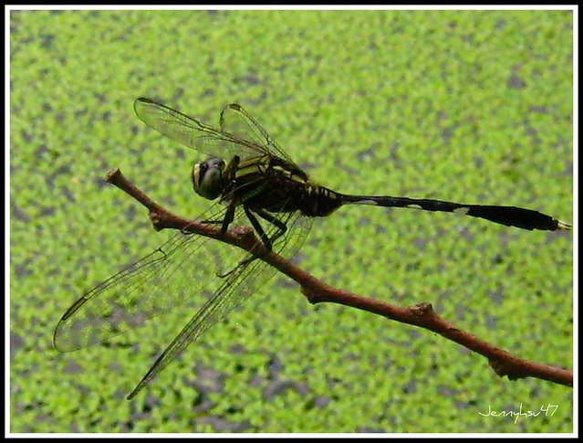 fragon fly --蜻蜓 | ...