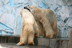 Polar Bear - 25