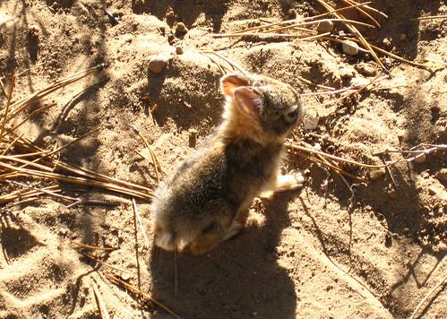 arizona usa baby rabbit bunny animal mammal az nationalforest bbs mammalia cottontail desertcottontail babybunny lagomorpha coconinocounty sylvilagusaudubonii sylvilagus apachesitgreavesnationalforest cheveloncanyon blackmesadistrict