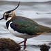 Northern Lapwing - Photo (c) Gidzy, some rights reserved (CC BY)