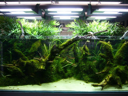 Plants that grow out of top of aquarium tropical fish forums for Growing plants with fish