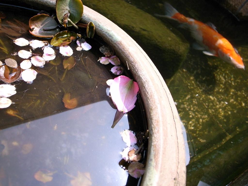 Flower petal & carp