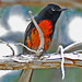 Painted Redstart - Photo (c) Jerry Oldenettel, some rights reserved (CC BY-NC-SA)