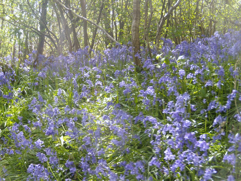 Bluebells 9 Hurst Green to Chiddingstone Causeway