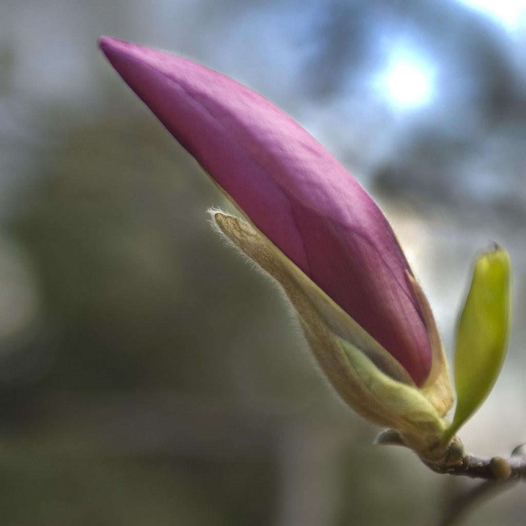 Bud 'o Magnolia