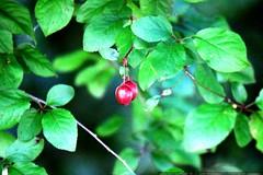 sour sour plums?    MG 4344