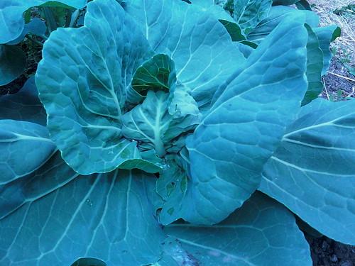 Proto Cabbage