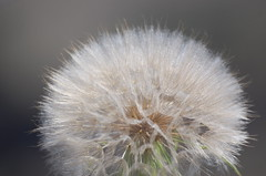Gigantic dandelion