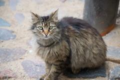 Riga cat