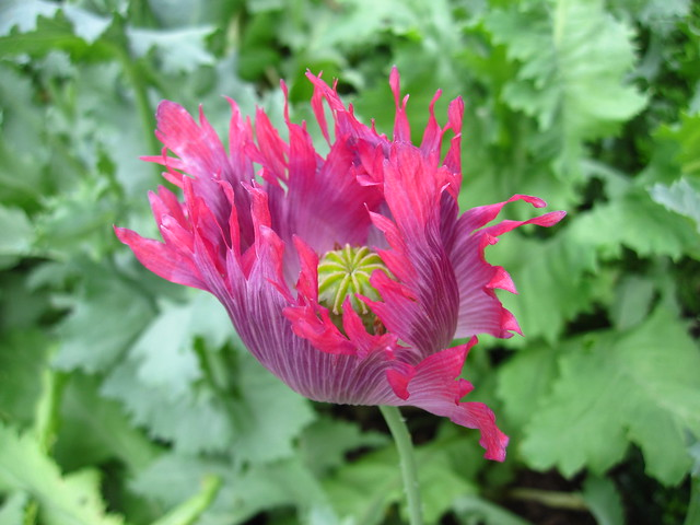 Papaver somniferum in the Herb Garden. Photo by Rebecca Bullene.