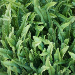 leaf, plant, ostrich fern, fiddlehead fern, ferns and horsetails,