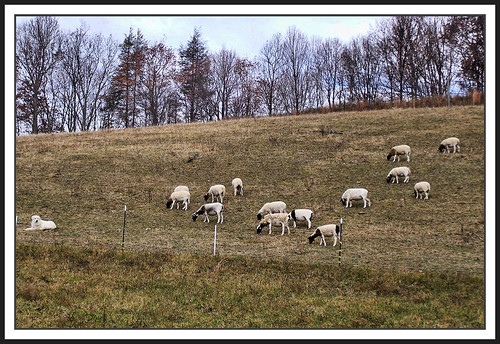 dog virginia sheep pasture blueribbonwinner washingtoncounty supershot platinumphoto anawesomeshot goldstaraward