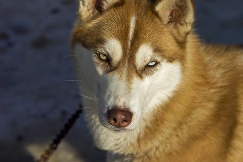 3216532149 0aa5ce0ece Elkford Sled Dog Races
