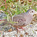 Common Ground-Dove - Photo (c) Jerry Oldenettel, some rights reserved (CC BY-NC-SA)