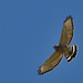Broad-winged Hawk - Photo (c) Pablo Lèautaud, some rights reserved (CC BY-NC-ND)