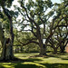 Southern Live Oak - Photo (c) Dystopos, some rights reserved (CC BY-NC)