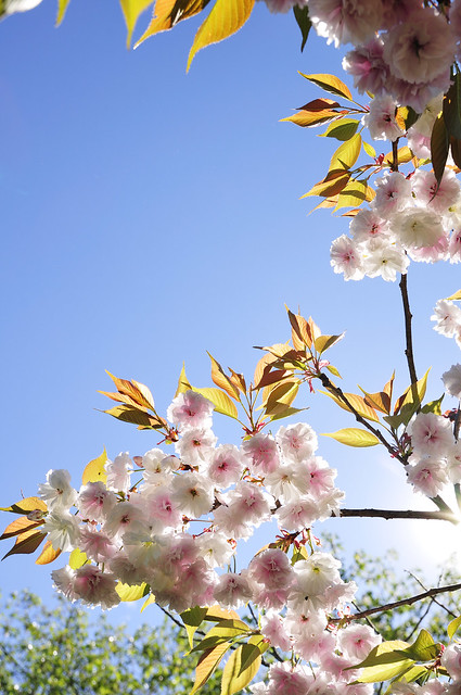 a double flowering cherry tree_36 from Flickr via Wylio