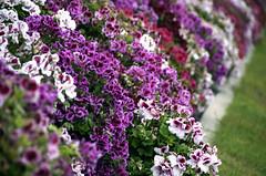 annual plant, shrub, flower, garden, purple, plant, lilac, lavender, herb, wildflower, flora,