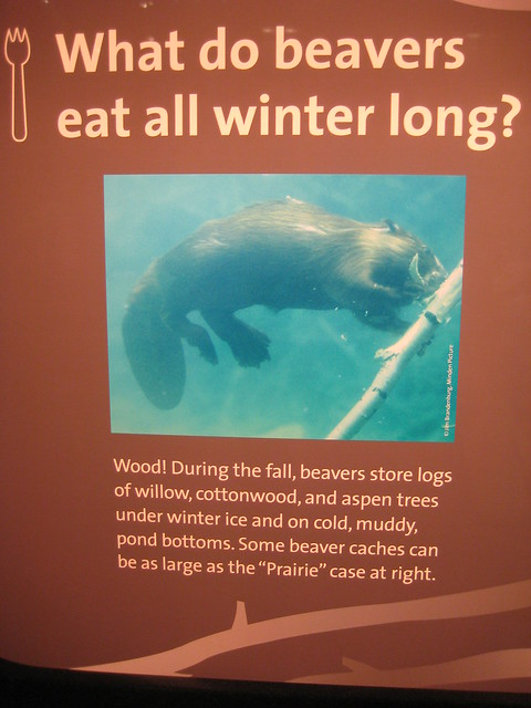 Pictures Of What Beavers Eat 101