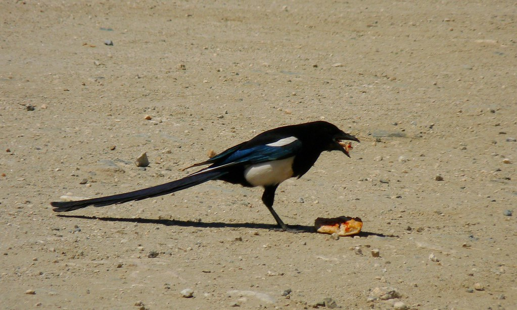 Black Billed Magpie 05/30/09