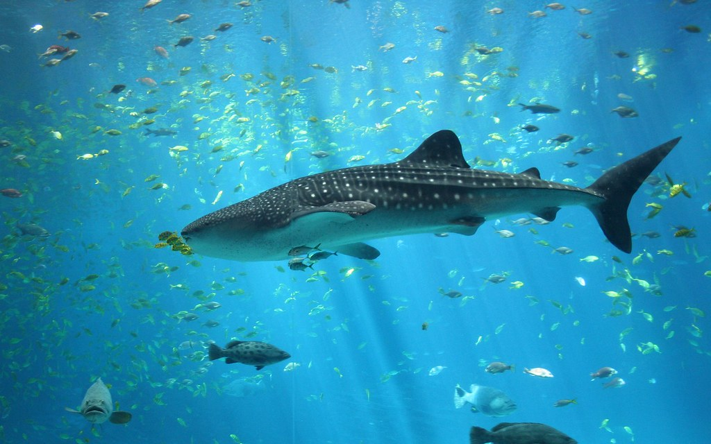 largest whale shark - photo #15