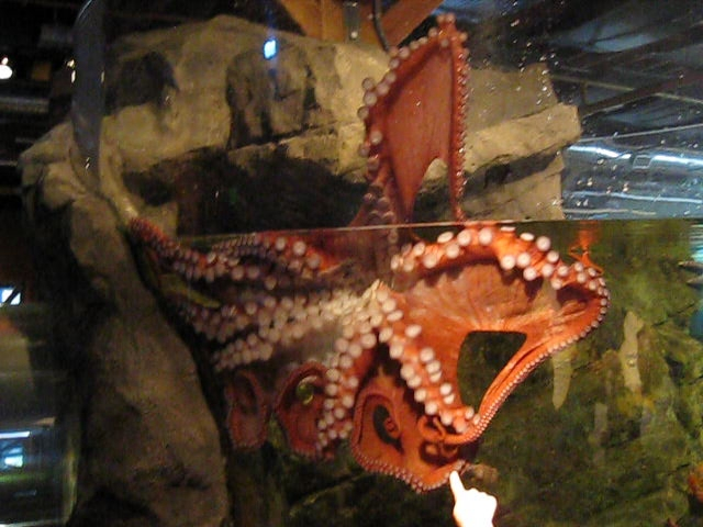 Giant Octopus At Seattle Aquarium Flickr Photo Sharing