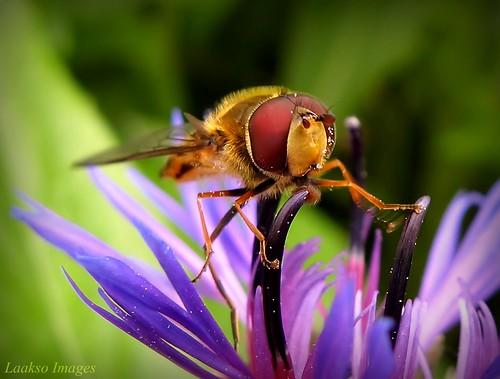 summer flower macro green nature canon suomi finland insect maria images sue kesä kerimäki luonto laakso kukka hyönteinen anttola insectphotography canonpowershota710is kesäkuva marialaakso sue323 larawangpinoy laaksoimages