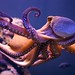 Octopus - Photo (c) Morten Brekkevold, some rights reserved (CC BY-NC-SA)
