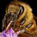 Feeding Honeybee III
