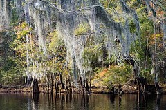 Spanish moss overhangs the Lumber River