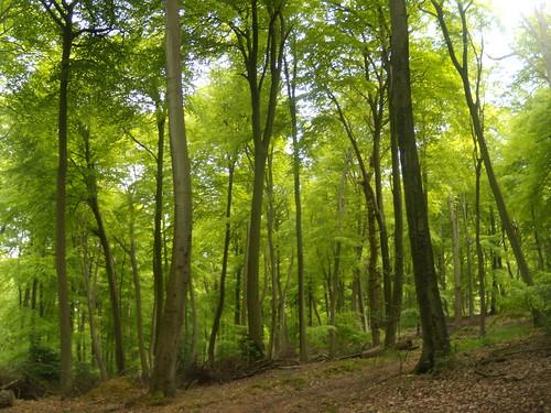 More beech trees