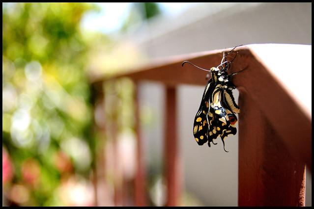 Newborn Swallowtail