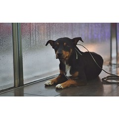 animal, dog, pet, mammal, miniature pinscher, pinscher, rottweiler,
