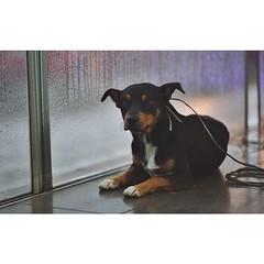 dobermann(0.0), animal(1.0), dog(1.0), pet(1.0), mammal(1.0), miniature pinscher(1.0), pinscher(1.0), rottweiler(1.0),