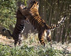 Tigers_Playing_IMG_4996