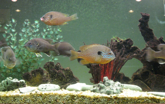 Aquarium flickr photo sharing for Bluegill fish tank