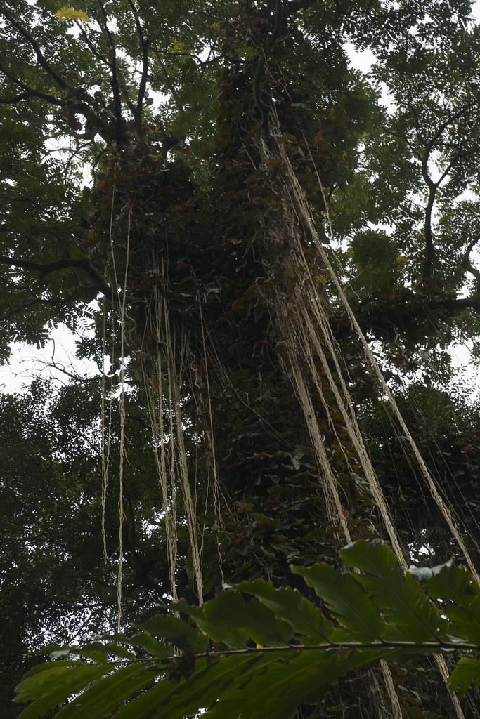 Tree at Akaka Falls