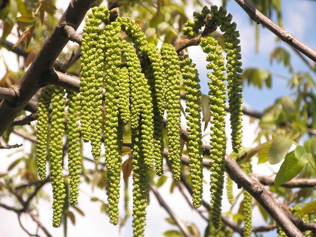 Diófa barka virágja (Juglans regia) / Catkin of walnut tree