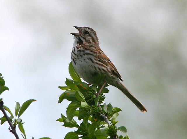 Song Sparrow 20090510