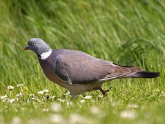 Common Wood-Pigeon - Photo (c) Erik Jørgensen, some rights reserved (CC BY-NC-SA)