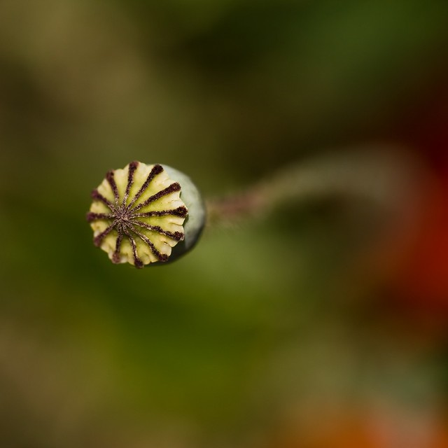 Small Asian poppy, top view
