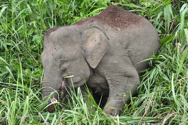 Pygmy elephant baby | Flickr - Photo Sharing!