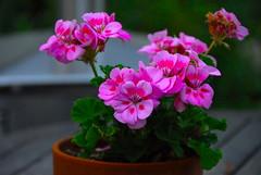 annual plant, geranium, flower, plant, herb, flora, floristry, pink, petal,