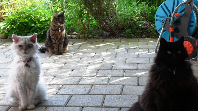 Fluffy, Tabby and Nera waiting for tuna fish