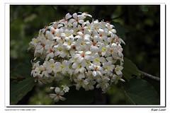 桐花的季節