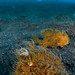 Hairy Frogfish pair - Lembeh