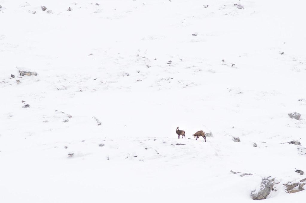 Parc naturel de la Vanoise - Randonnée à ski - Les chamois