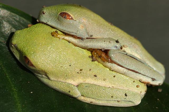 Red Eyed Tree Frog Sleeping